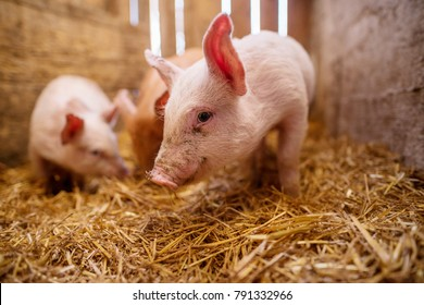 Group of pigs at animal farm.