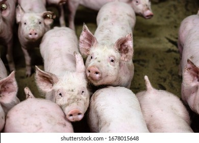 Group of pigs in a modern farm