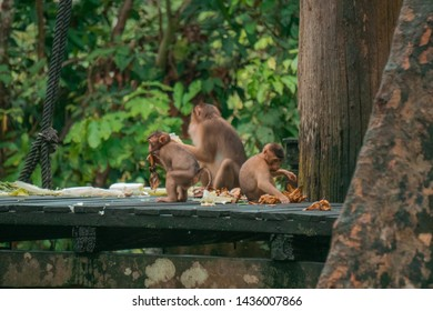 A Group of pig-tailed macaque (pig-tail macaque, southern pig-tailed macaque) on feeding time in forest at Sepilok Orang Utan Rehabilitation Centre, Sandakan, Sabah (Borneo), Malaysia