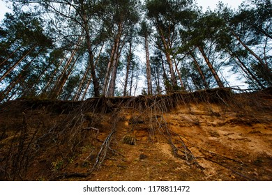 Group of pine trees exposed to huge soil erosion