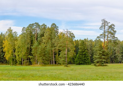 Group of pine trees in a forest glade on the background of autumn forest and blue sky with clouds