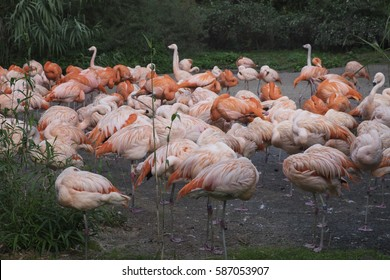 Group of pink flamigos with fauna in the background.