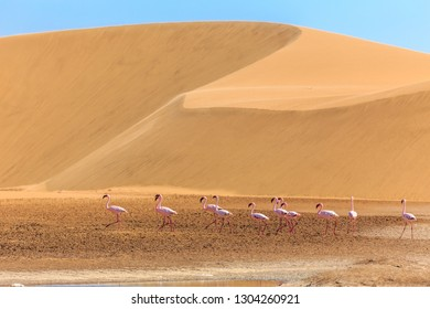 Group of pink flamingo bird marching along the dune in Kalahari Desert, Namibia
