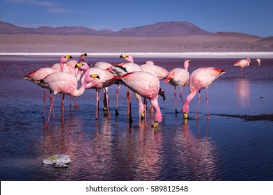 Group of pink flamingos in the colorful water of Laguna Colorada, a popular stop on the Roadtrip to Uyuni Salf Flat, Bolivia