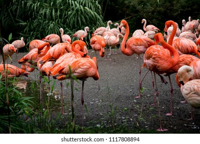 Group of pink flamingos in natural colorful environment. Prague, Czech Republic zoo.