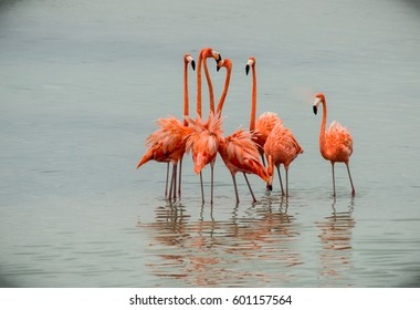 The group of pink flamingos standing in the water