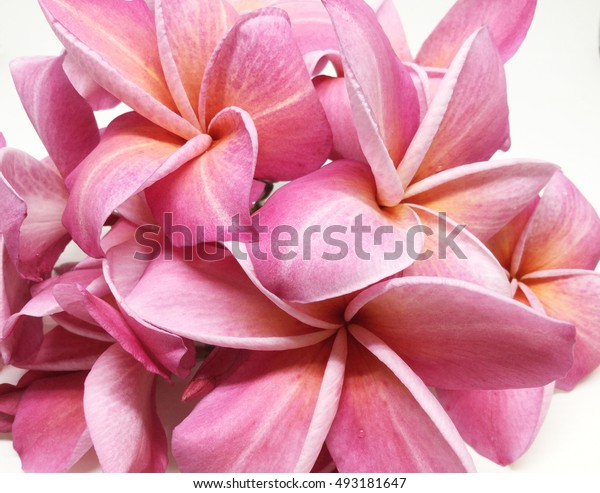 Group of Pink Frangipani isolated on White