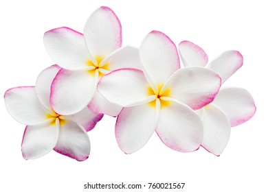 Group of Pink Frangipani (Plumeria) flowers on a white background.