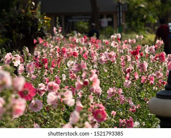 Group of Pink Hollyhock Flowers with Sunlight, Selective Focus