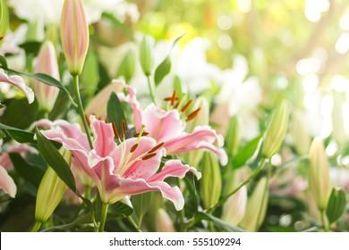 rosafarbene Lilly-Blume im Garten