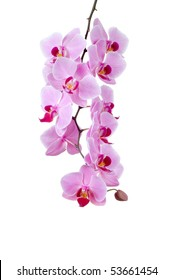 A group of pink orchids on a white background