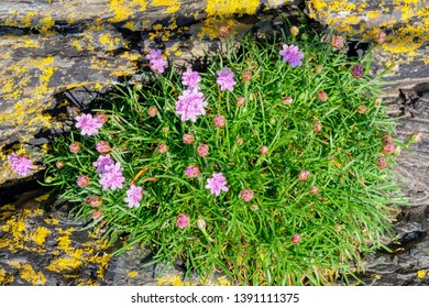 Group of pink Sea Trhift wildflowers growing onlichen covered  slate rock near Porthmadog, Wales