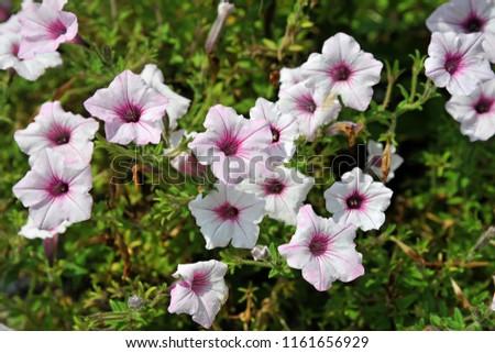 Group Pink White Petunia Flower Beautiful Stock Photo Edit Now