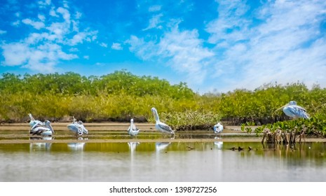 The group of Pink-backed Pelicans or Pelecanus rufescens is resting on the surface in the sea lagoon in Africa, Senegal. It is a wildlife photo of bird in wild nature. There is sunny day.
