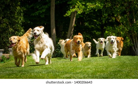A group of playful pedigreed Golden Retriever dogs are running  towards the camera in a green park.