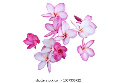 group of plumeria flower isolated on white background