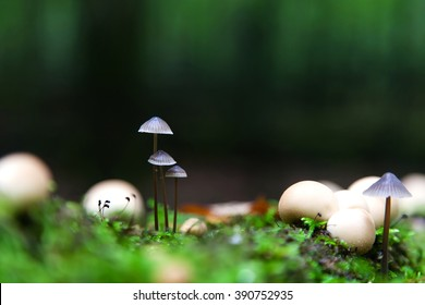 A group of poisonous mushrooms (fungus, toadstools) in the forest