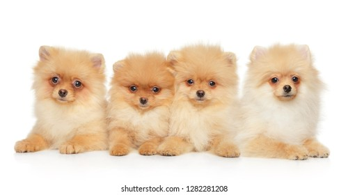 Group of Pomeranian Spitz puppies on white background. Baby animal theme