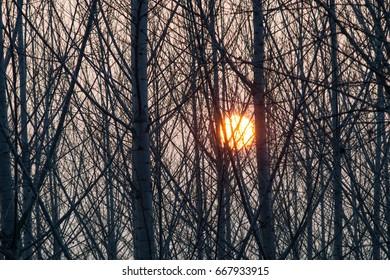 group of poplars at sunset. Padua, Italy