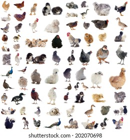 group of poultry in front of white background