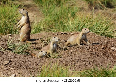 A group of prairie dogs looking around.