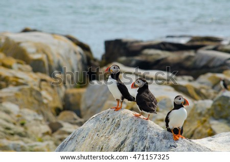 A group of puffins chilling on a rock