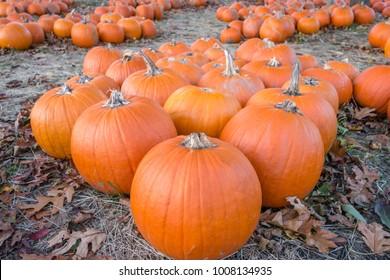 Group of pumpkins in field