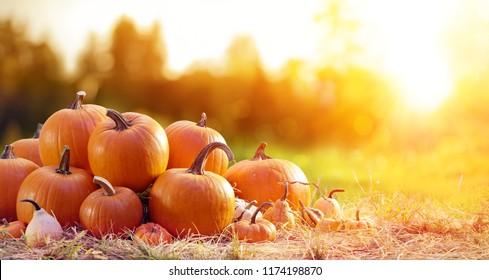 Gruppe von Pumpkins im Feld bei Sonnenuntergang