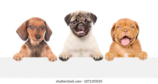 Group of puppies above white banner. isolated on white background