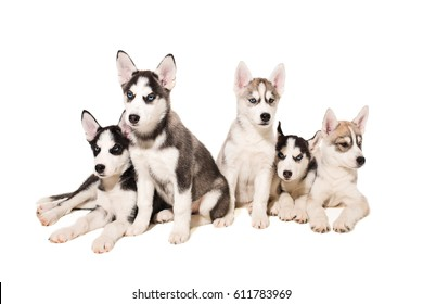 Group of puppies breed the Huskies isolated on white background