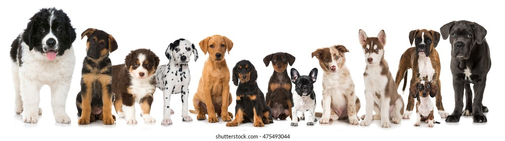 Group of puppies isolated on white