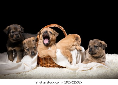 Group of puppies in a wicker basket on a white blanket. Studio photo on a black background. Horizontally framed shot.