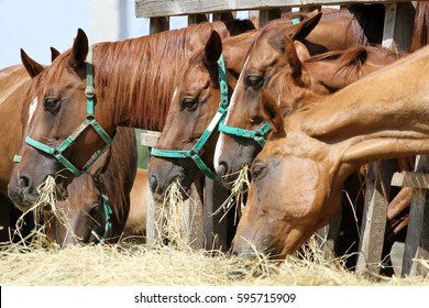 Group of purebred horses eating hay on rural animal farm