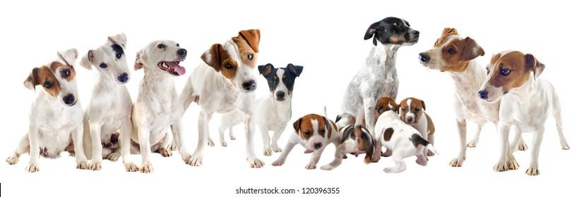 group of purebred jack russel terrier in studio