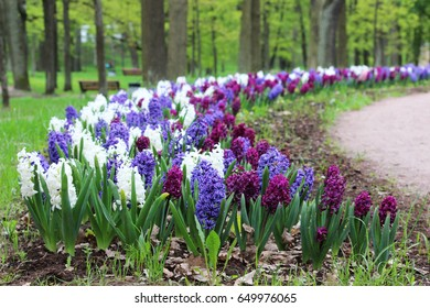 Group of purple, blue and white hyacinths of Hyacinthus flowers grows on flower bed in Gatchina park
