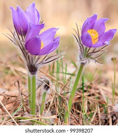 Group of purple pasque flowers on mountain. Spring flower.