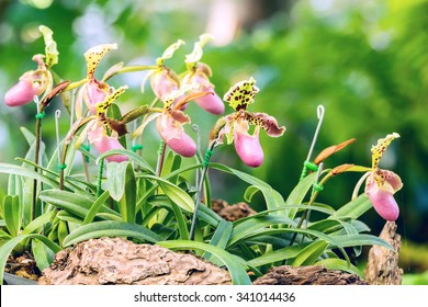 Group of  purple pink lady slipper orchid blossom in flower garden