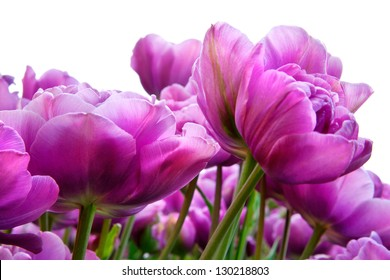 Group purple tulips on a white background. Spring landscape.