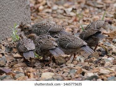 A group of quail chicks have found something to eat.