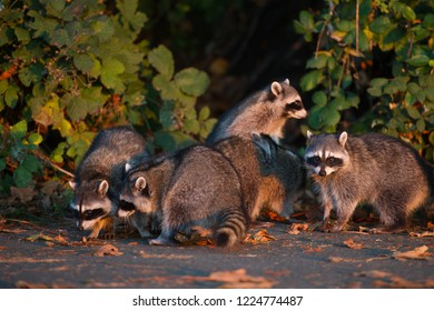 A group of raccoons enjoying the sunset at Stanley Park in Vancouver.