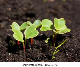 Group of radish sprouts growing from the ground