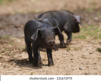 A group of rare black pigs play and sleep in the dirt