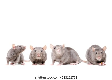 The group of rats isolated on white background