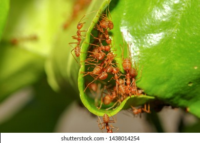 group red ant build ant nest from green leaf in nature at forest thailand