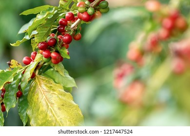 Group of red Arabica coffee berries getting ripe on coffee tree branch