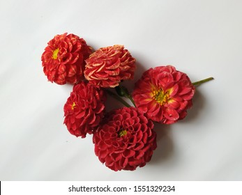 Group of red color dahlia flowers isolated in a white background. Frame or border design of flowers