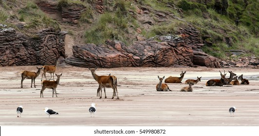 Group of Red Deer at the beach of Isle Rum (Scotland)