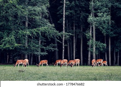 a group of red deer grazing on a forest glade, german public wildlife park, dark moody colors, deciduous forest with birch trees
