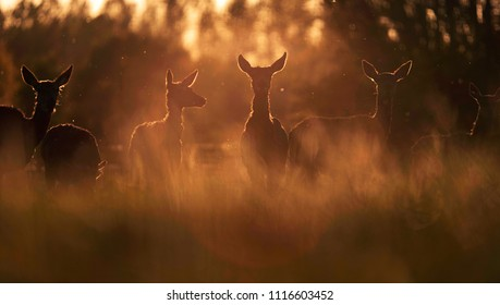 Group of red deer hinds in meadow backlight by evening sun.