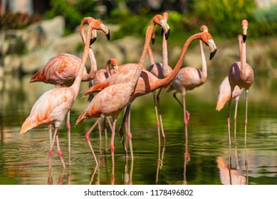 A group of red flamigoes in beautiful asian pond